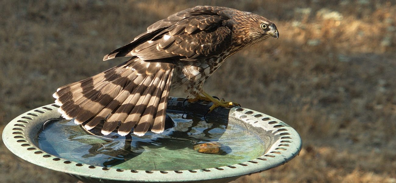 A Cooper's falcon takes a quick drink