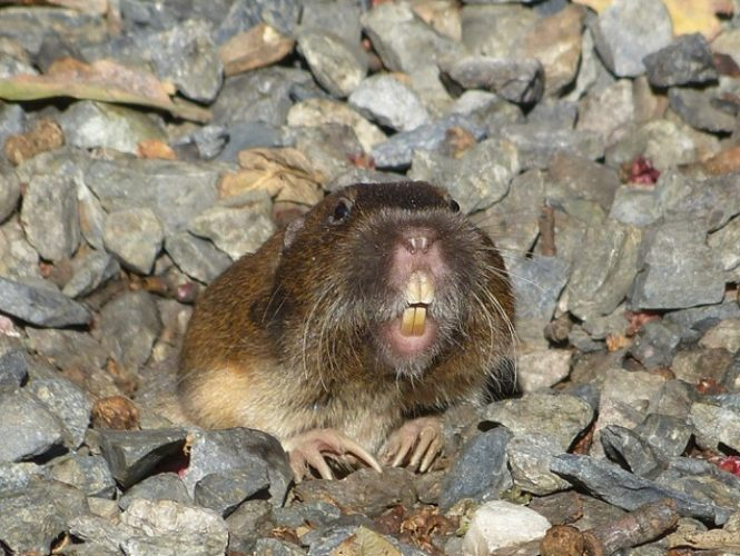 One of the Park's ubiquitous Gophers smiling for the camera!