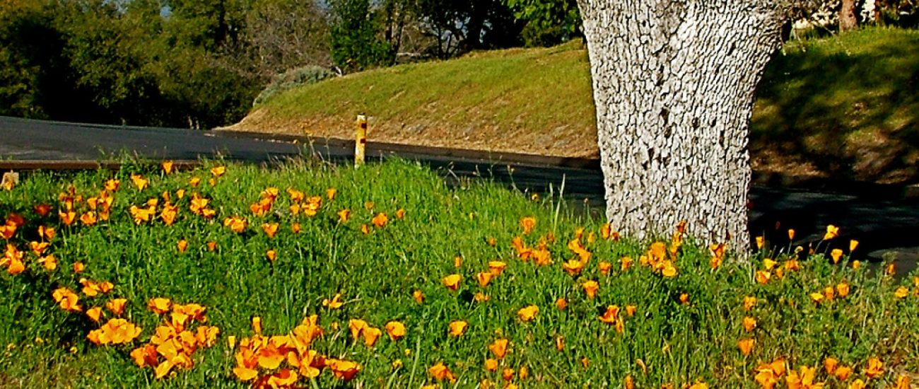 CA Poppies near Clubhouse, Park Sierra, Coarsegold, CA