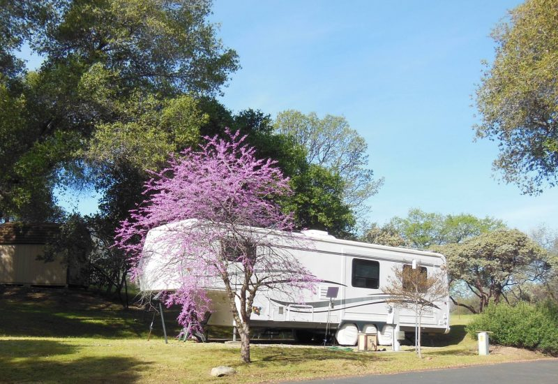 Red Bud trees bloom in the spring