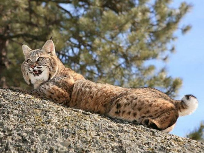 Bobcat sightings aren't rare as one might think.  These small hunters are occasional visitors, quick to retreat at the slightest sound or sight.