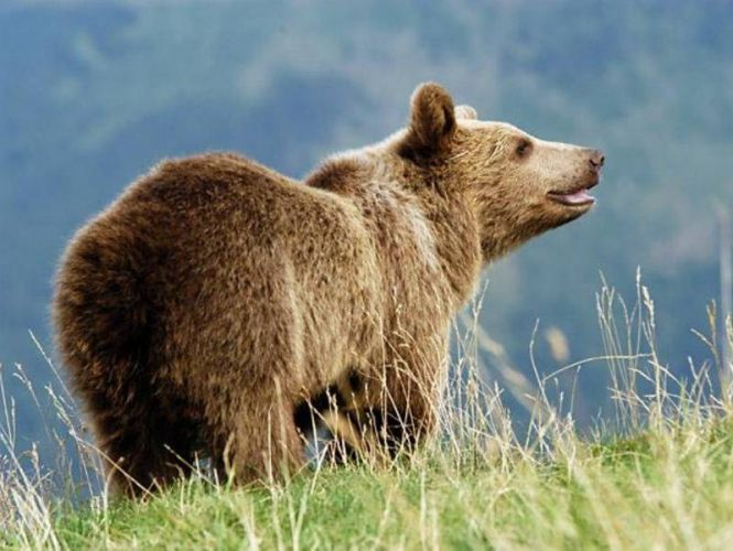 In over 25 years of Park Sierra history, tracks or other signs of brown bears have been reported a handful of times.