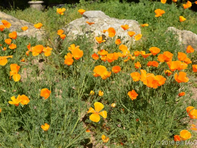 California Poppy