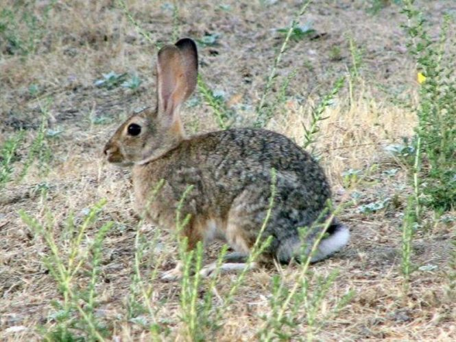 Seen throughout the park, cottontail rabbits think if they stay still then no one can see them.