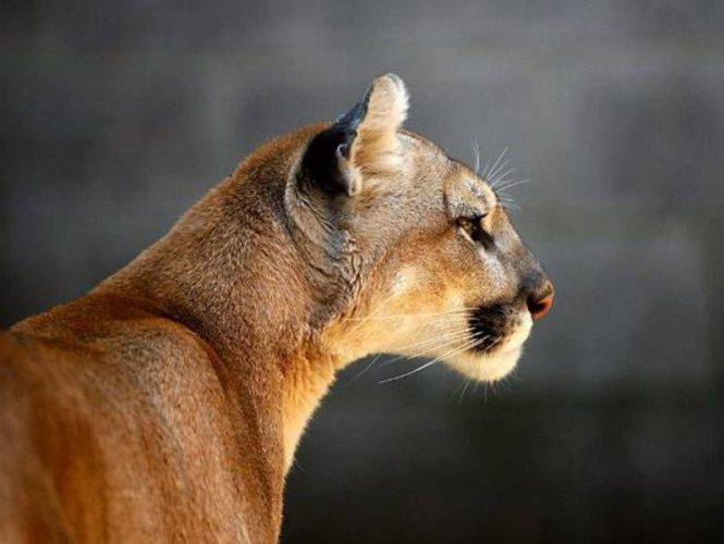 Cougar - Very rare, these solitary hunters have been observed in the woods around Park Sierra