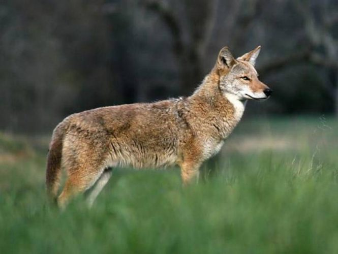 Coyote - These small hunters are mostly heard, not seen, in woods surrounding the Park.  Visitors are cautioned to always make sure their pets are protected, especially at night.