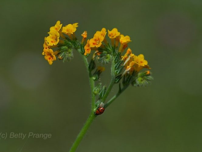 Fiddleneck (with ladybug)