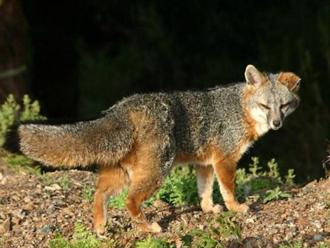 Gray Fox - Rarely seen, these small predators do live in our surrounding woods.