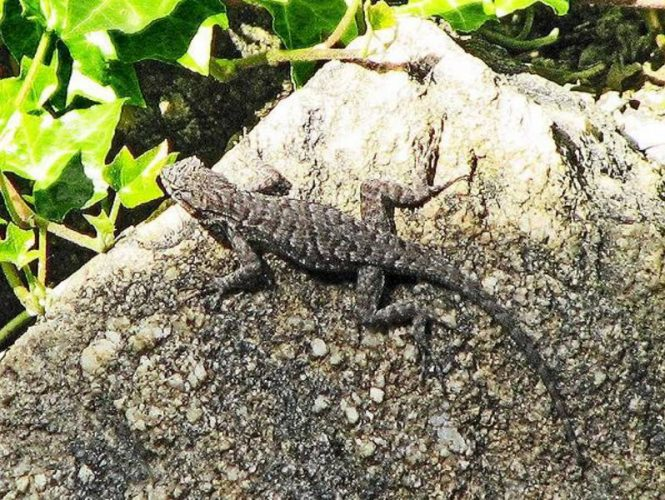Look quick! Small lizards enjoy the sun but will run to hide if people get too close.