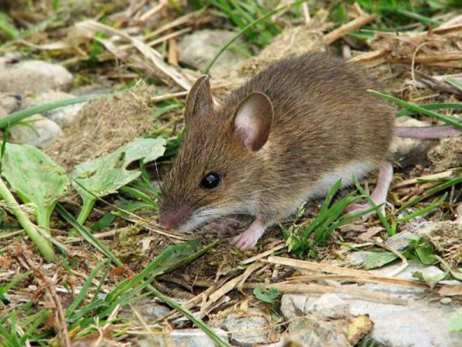 Local field mice are mostly harmless but can be a nuisance to stored vehicles.