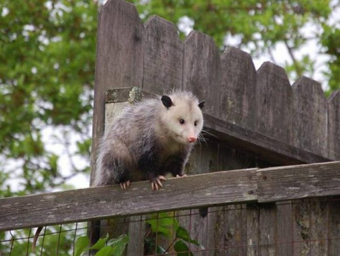 Occasionally seen in the park, opossums live in the surrounding forests.