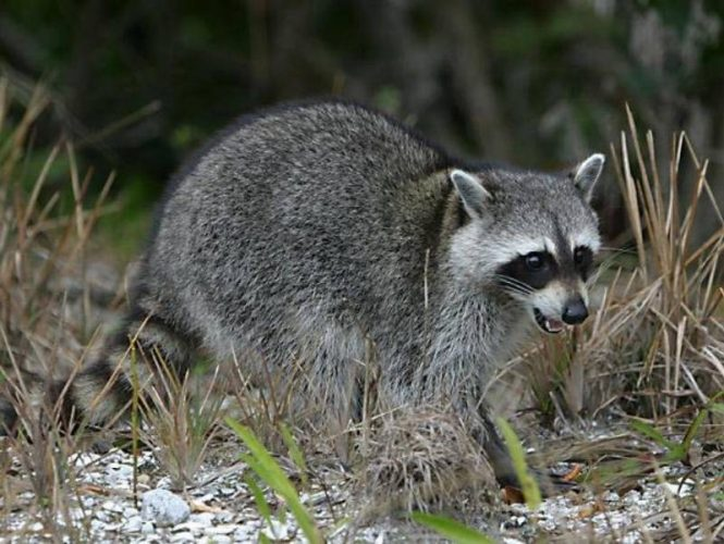 Raccoons are known to visit our park in search of easy meals.