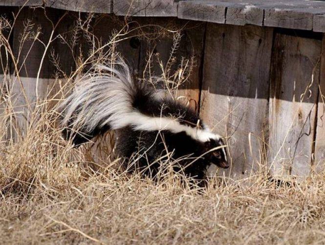 Skunks are not often seen but do occasionally visit our park.