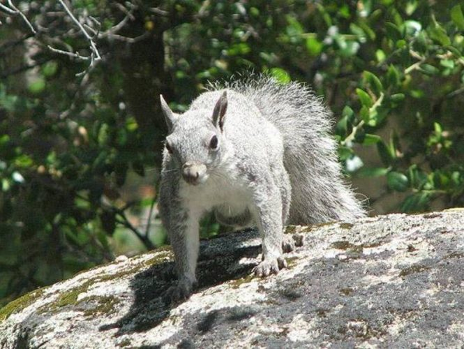 Always busy, many gray squirrels call Park Sierra trees their homes